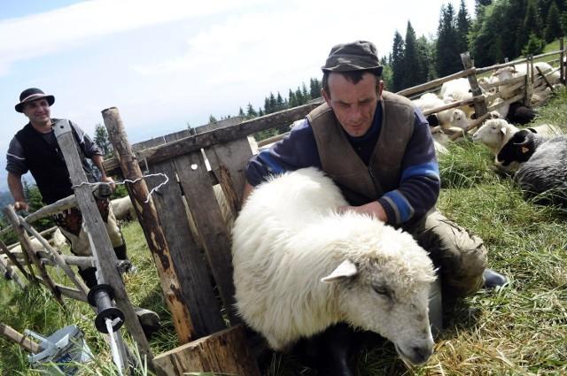 Na hali owce doi się dwa razy dziennie. Tę trudną pracę wykonują pomocnicy bacy - juhasi. Mleko trafia do wiaderek