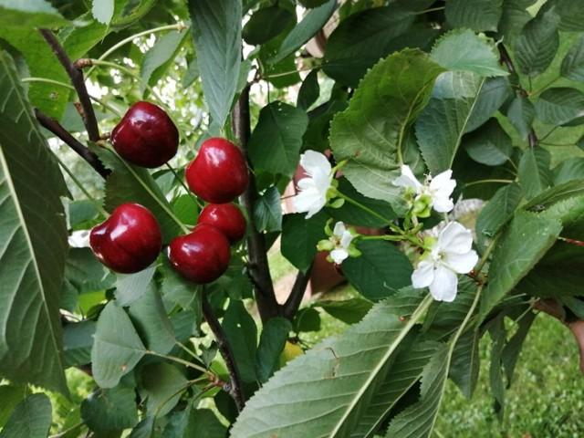Na drzewku czereśniowym są dojrzałe owoce i kwiatki.