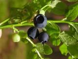 Jagody - owoce, które łagodzą skutki stresu