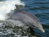 W Bałtyku pojawiły się delfiny butlonose. Po raz pierwszy od XIX wieku (wideo)