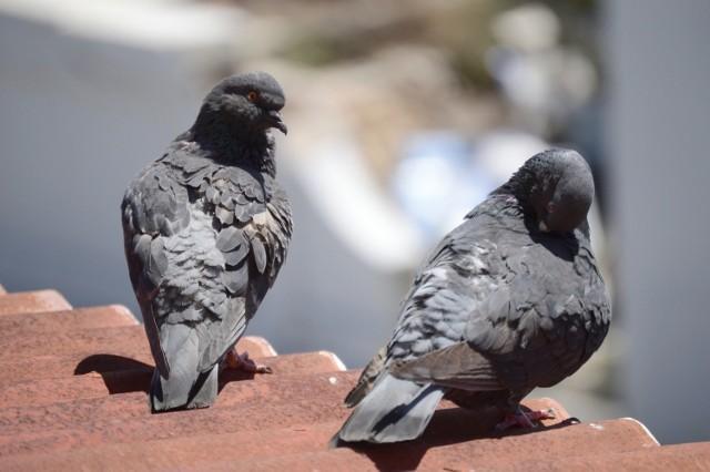 """Przeciwnicy gołębi nieraz nazywają je """"latającymi szczurami"""", warto jednak pamiętać, że ptaki te są pod ochroną. Przejdź do kolejnych zdjęć, by poznać sposoby odstraszania gołębi. Użyj strzałki w prawo lub przycisku NASTĘPNE."""