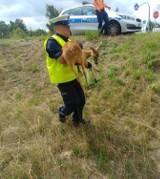 Ostrowski policjant pomaga zwierzętom niczym dr Dolittle. ZDJĘCIA