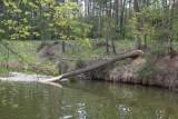 W Białych Błotach chcą ochronić stare drzewa przed bobrami