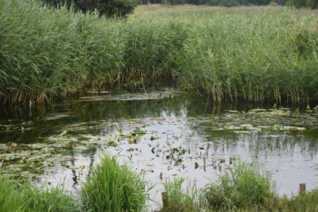 Z powodu roślinności rzeki w Wągrowcu na znacznym odcinku są niewidoczne