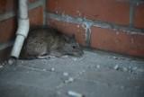 Plaga szczurów na Osiedlu Leśnym w Bydgoszczy. Skąd się tam wzięły?