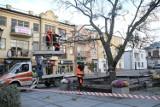 Chełm. Niektóre drzewa zaatakowane jemiołą trzeba było ściąć - zobacz zdjęcia