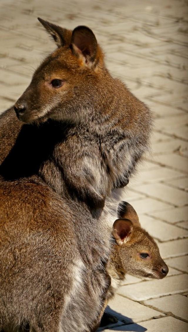 Trzy kangury uciekły z gospodarstwa w Biszczy. Dwa już nie żyją