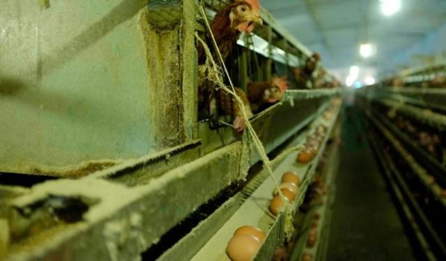 Salmonella w jajach - uważajcie na określone partie jajek