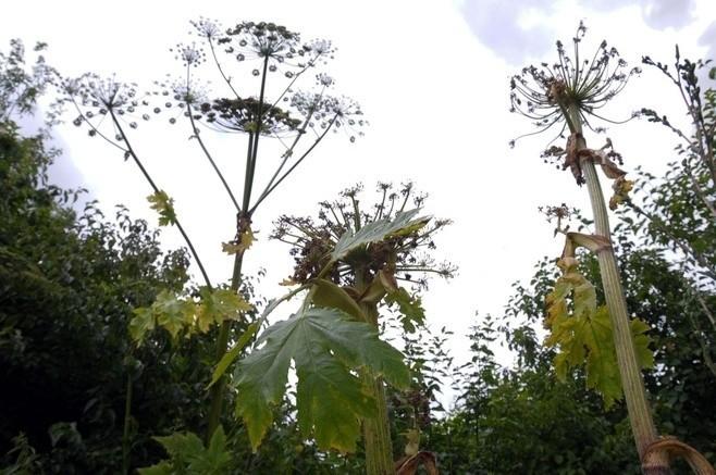 Kontakt z tą rośliną może powodować poparzenia II i III stopnia