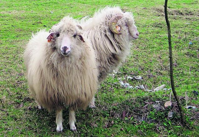 Owce zdechłyby, gdyby nie życzliwi sąsiedzi i gruba sierść