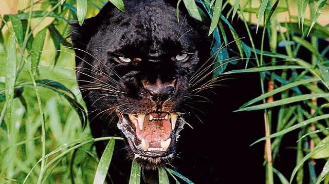 czarna puma w polsce