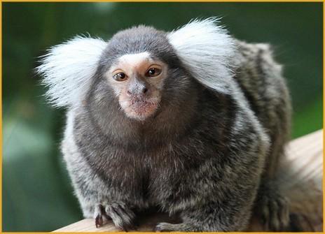 Marmozeta białoucha, towarzysząca poszukiwanej listem gończym kobiecie, trafiła za kraty. Policjanci przekazali małpę do hotelu dla zwierząt.