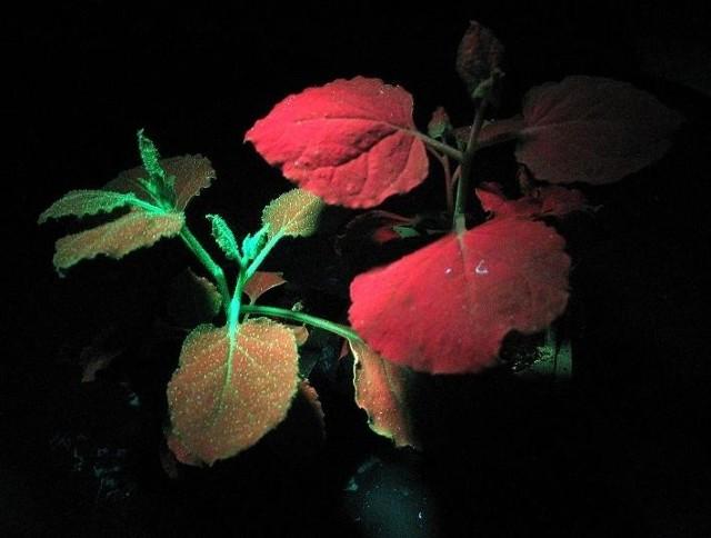 Zmodyfikowany genetycznie tytoń z genem fluorescencji pochodzącym z morskiej algi w świetle ultrafioletowym (z lewej) i tytoń normalny