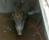 Dzik wpadł do studzienki telekomunikacyjnej w Smukale. Bydgoscy strażnicy miejscy wyciągali zwierzę