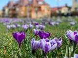 Choć to jeszcze kalendarzowa zima, to do Władysławowa zawitała wiosna. Na Alei Gwiazd Sportu pojawiły się krokusy   ZDJĘCIA
