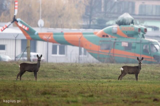 Dzikie zwierzęta hasają w okolicach lubelskiego lotniska