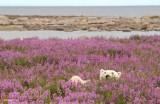 Polarne miśki bawią się w morzu kwiatów [zdjęcia]