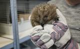 Zagrożone jeże z Bydgoszczy będą miały nowy dom. Zwierzęta zostaną przetransportowane do schroniska