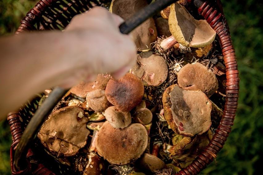 Zbieranie grzybów we wszystkich lasach państwowych jest w...
