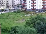 Kraków. Dziki podchodzą pod bloki na ulicy Obozowej. Mieszkańcy czują się zagrożeni [ZDJĘCIA]