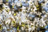 Pomysł na majówkę w Łódzkiem: Arboretum w Rogowie. Kwitną już magnolie [ZDJĘCIA, GODZINY OTWARCIA, CENNIK]