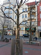 Bytom: uschnięte drzewa na rynku. Czemu wciąż nie zostały wycięte? [ZDJĘCIA]
