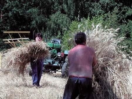 Rolnicy twierdzą, że większość tegorocznego zboża nadawać się będzie wyłącznie na paszę. fot. JAKUB MORKOWSKI