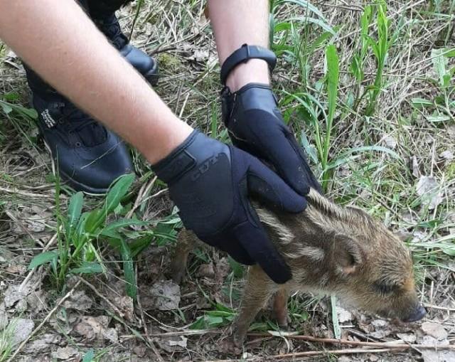 Malutki dzik w Sosnowcu został uratowany przez straż miejską   Zobacz kolejne zdjęcia. Przesuwaj zdjęcia w prawo - naciśnij strzałkę lub przycisk NASTĘPNE