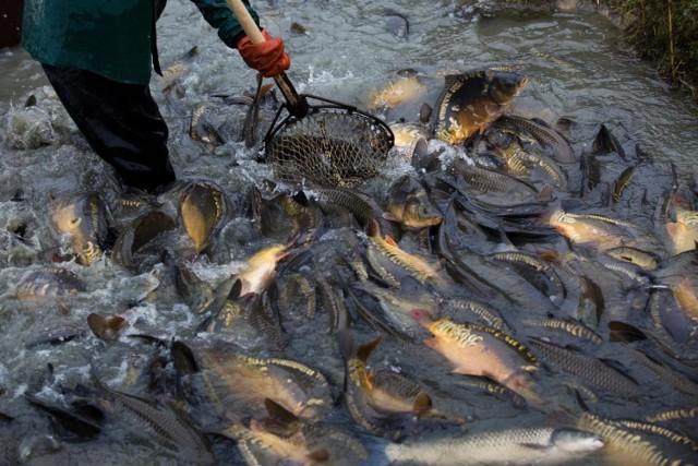 Ciężko wyobrazić sobie wigilijny stół bez karpia. I choć podajemy go na różne sposoby – smażonego, w galarecie czy po żydowsku – to jest niezbędnym elementem naszej tradycji. Z zakupem tej ryby w tym roku problemu nie ma – karp jest w ofercie każdej sieci handlowej, sprzedają go też sklepy rybne oraz handlarze na targowiskach. Sprawdźmy, ile w tym roku zapłacimy za karpia.   POZNAJ CENY NA KOLEJNYCH SLAJDACH >>>>>