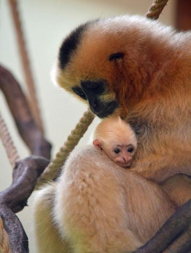 Młody gibbon białopoliczkowy i pekari tagua