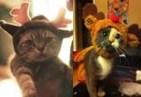 Najsłodsza galeria świąteczna. Koty przebrane za renifery! [ZDJĘCIA]
