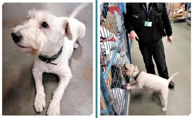 Najstarszy pies celników przechodzi na emeryturę. Ma wiele sukcesów!