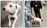 Kujawsko-Pomorskie: Kolia - najstarszy pies celników do wykrywania tytoniu idzie na emeryturę. Ma wiele sukcesów!