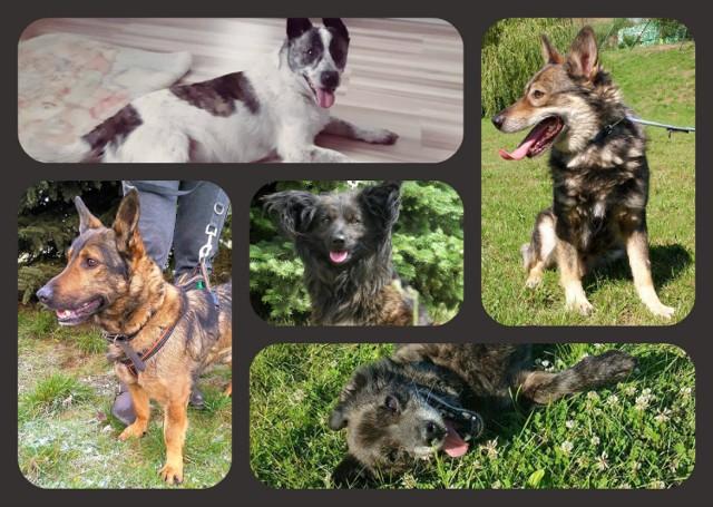 Poznajcie mieszkańców Schroniska dla Zwierząt w Świeciu. W tej chwili do adopcji przeznaczonych jest pięć uroczych psiaków.   W sprawie adopcji można się kontaktować z azylem pod numerem telefonu 502 280 826.     Dwa razy więcej fotoradarów na polskich drogach. Zobacz wideo!