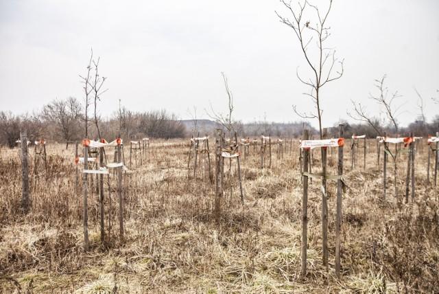 Drzewka, które zostały posadzone w ramach akcji krakowskiej huty