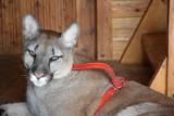 Dlaczego puma Nubia miała trafić do poznańskiego zoo, a nie do zoo w Chorzowie? To sąd w Zawierciu wybrał zoo dla pumy Nubii