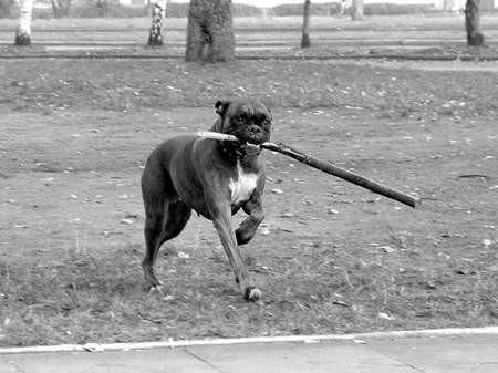 Duże i groźne psy biegają swobodnie po parkach, bez smyczy i kagańców. Fot: O0lgierd Górny