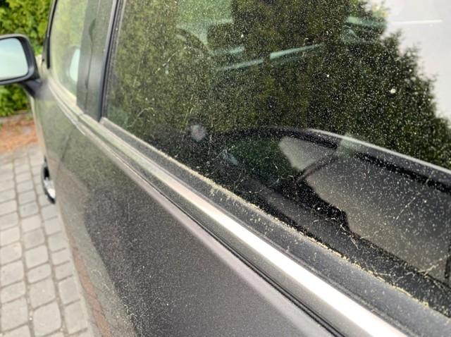 Żółty pył na samochodach, ale także na oknach mieszkań, balkonach czy parapetach. Od kilku dni jest po prostu wszędzie. Podczas słonecznej pogody, wystarczy lekko przetrzeć by zniknął, po deszczu zmienia się jednak w lepką maź. Czym jest?   Czytaj więcej. Kliknij w następne zdjęcie >>>