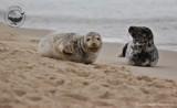 Wakacje w Helu i foki. Morskie ssaki odpoczywające na plaży stały się foto i wideo atrakcją w Helu. Naukowcy proszą: Nie podchodźcie do fok