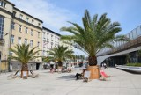 Do Chorzowa w maju powrócą palmy. Hilda, Truda i Bercik staną na rynku. Trzy chorzowskie palmy zimowały w Galerii Libero w Katowicach