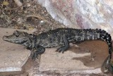 Policjanci odnaleźli krokodyla Mireczka. Schował się w piwnicy domu swojego właściciela