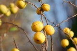 Te dzikie owoce występują jesienią. Są idealne na przetwory i nie tylko