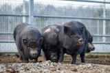 Adoptuj świnki ze schroniska we Wrocławiu. Oto szczegóły!