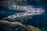Łódź: Krokodyle gawialowe zamieszkały w Orientarium w łódzkim zoo. ZDJĘCIA