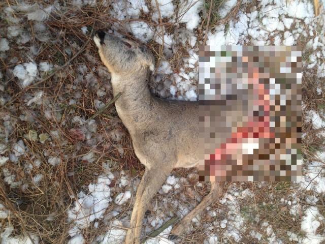 Wilki atakują zwierzęta leśne i coraz częściej także hodowlane.