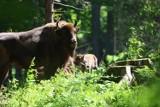 Cztery młode żubry w zagrodzie pokazowej w Mucznem w  Bieszczadach. Zaproponuj imiona dla nich