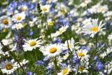 Piękne i kolorowe łąki kwietne w Zamościu. Jak na miasto idealne przystało, będzie ekologicznie, klimatycznie i magicznie [ZDJĘCIA]