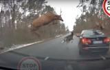 Pułtusk. Wypadek na drodze wojewódzkiej. Stado jeleni przeskakiwało nad samochodami. Jeden z nich wpadł na BMW