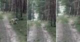 Lubuskie. Oko w oko z wilkiem! Mieszkaniec spotkał drapieżnika w lesie na grzybobraniu. Wilków w naszych lasach jest coraz więcej