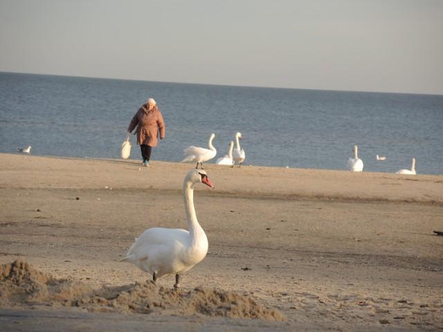 Te ptaki, to lokalni celebryci. Każdy, kto je spotyka, z plaży wychodzi z fotografią ptaków.